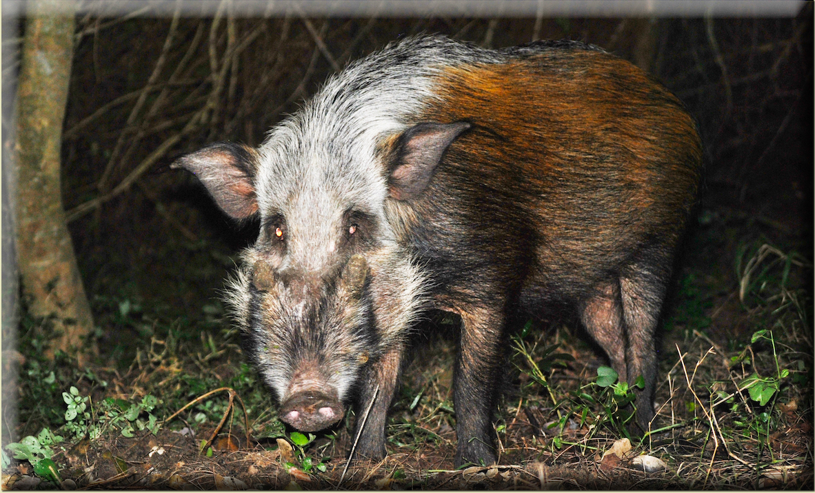 Bushpig Hunting in South Africa