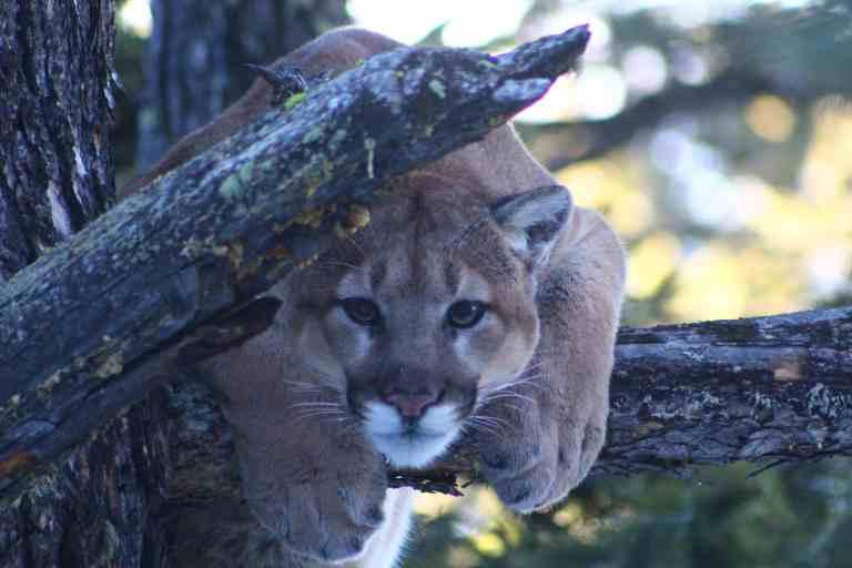 mountain lion on a tree