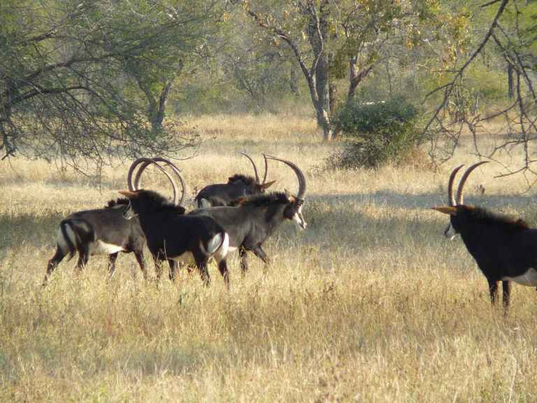 A small herd of sable antelope