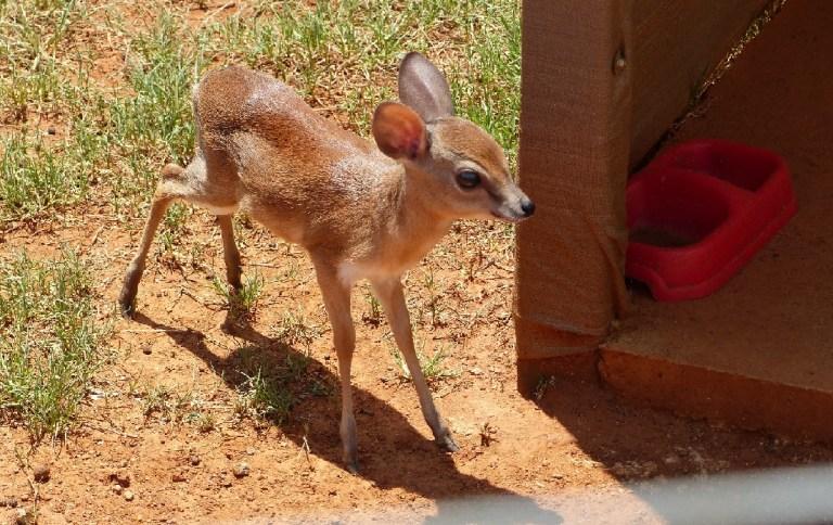 A calf Suni antelope