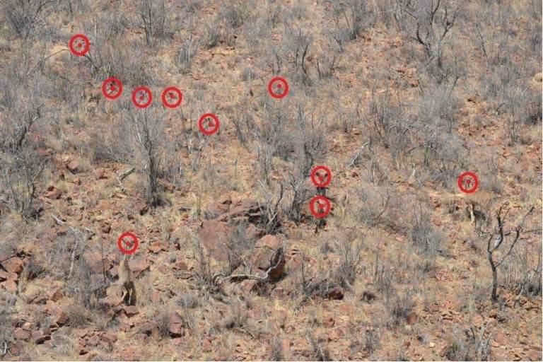 Ten kudu in their natural environment
