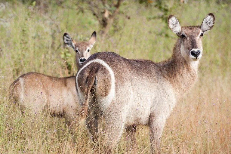 Common Waterbuck Cow and Calf