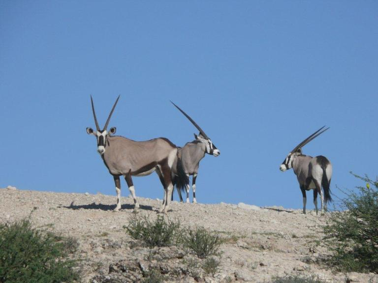 Gemsbok over blue skies