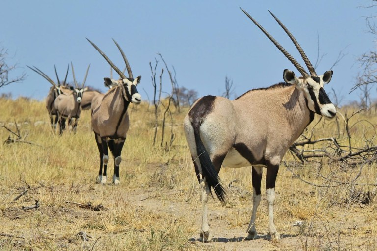 Gemsbok bulls
