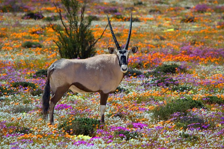 Gemsbuck in a field of flowers