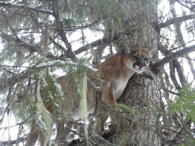 A puma on a tree