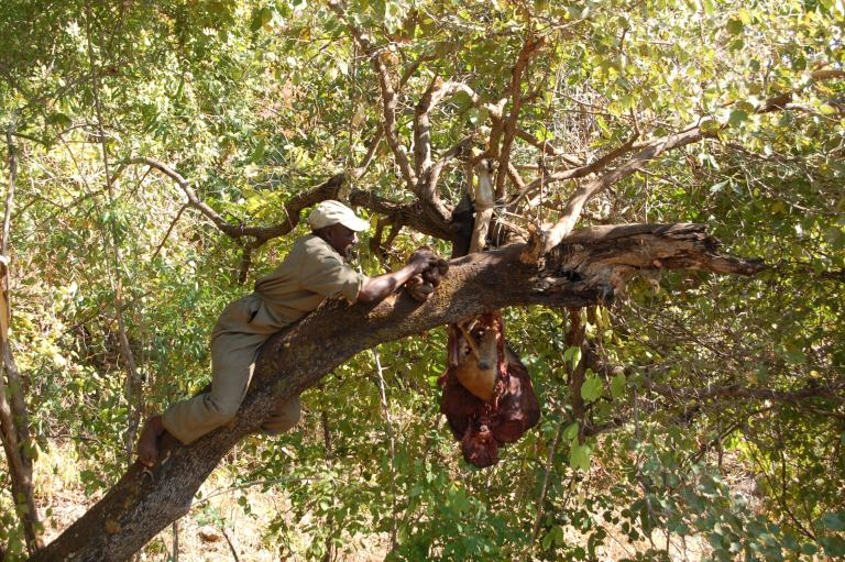 A hunting guide hanging a leopard bait
