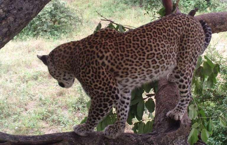 zim_leopard.jpg