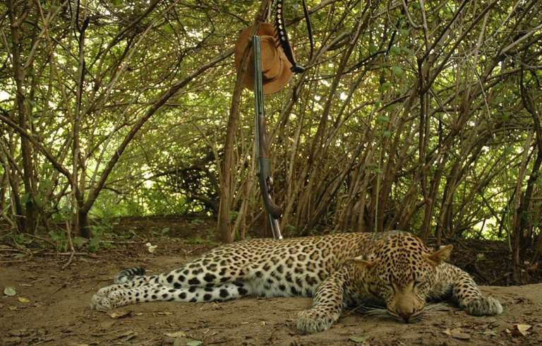 A leopard and a rifle in Africa