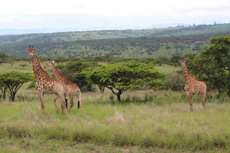 Three giraffes in savannah