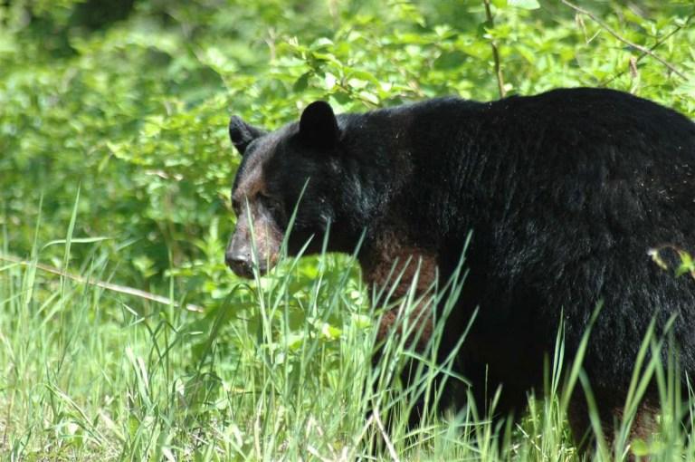 black bear - 1