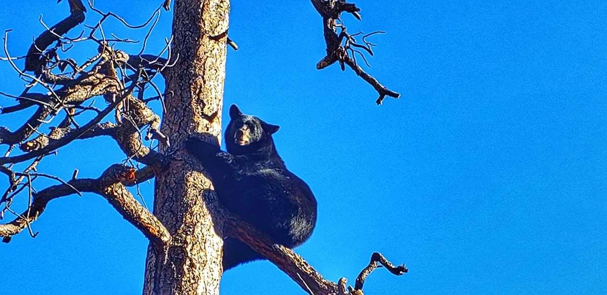 A black bear on a tree