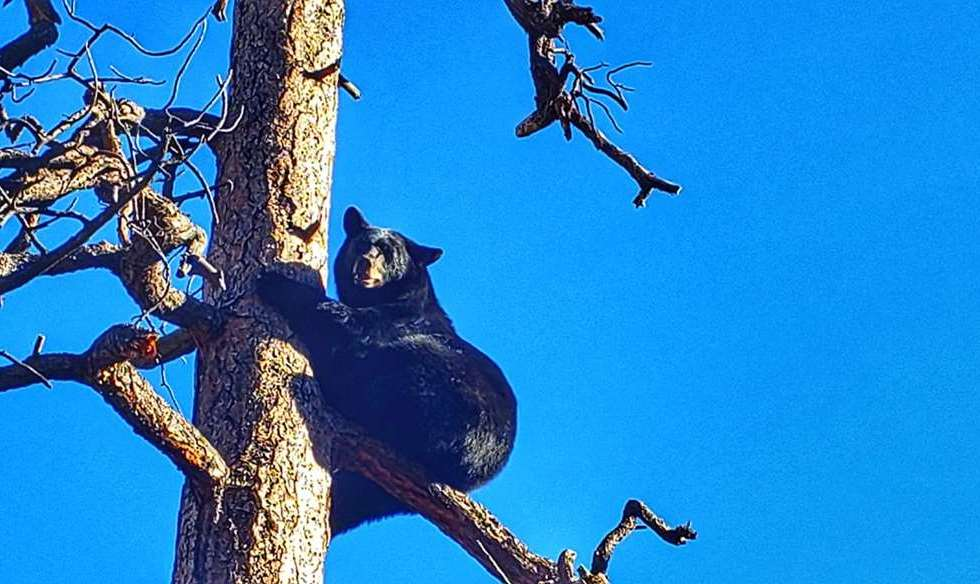 A black bear on a tree