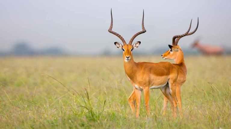 impala main