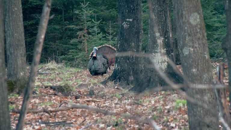 A wild turkey in the woods