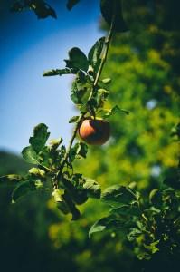 Die Ritter glaubten, dass die vornehmsten Früchte an Bäumen wachsen.
