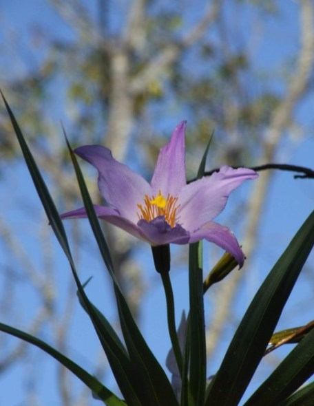 Flor da Canela-de-ema comestível e decorativa