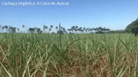 Lavoura orgânica de cana-de-açúcar da empresa Cachaça-canela-de-Ema