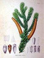 araucária-folha