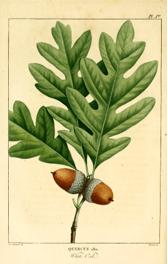 Carvalho americano folha e fruto