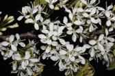grapa-flor-folha