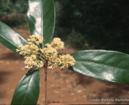 sassafrás-brasileiro-flor-folha