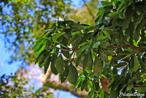sassafrás-brasileiro-folha