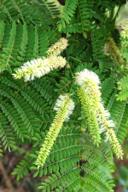 vinhático-flor-folha
