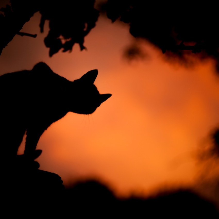 unlucky black cat silhouetted on an orange background