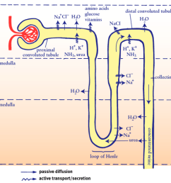 diagram of nephron [ 1033 x 840 Pixel ]