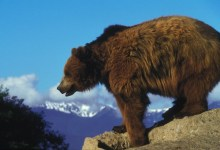 yellowstone grizzly bear in mountains