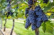 Alla scoperta del Pinot Nero, l'enfant terrible - Blog cantine.wine