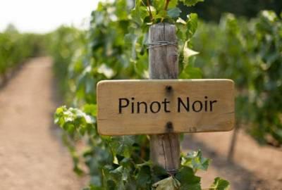 pinot nero noir vitigno