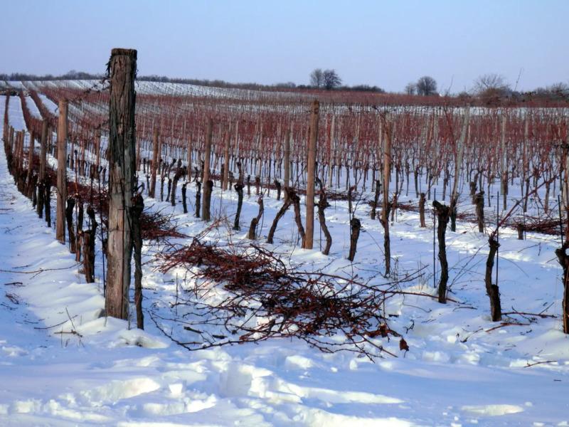 vini di ghiaccio vigneti neve