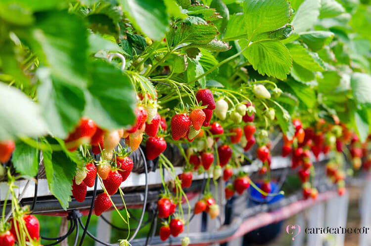 morangos plantados em vasos suspensos