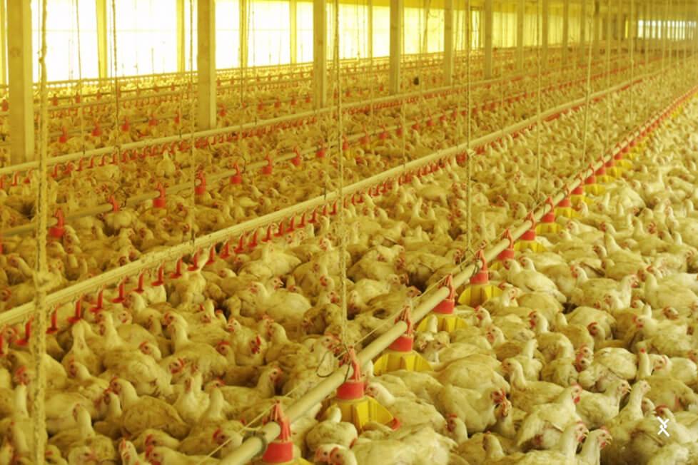 Evite a superlotação do galinheiro