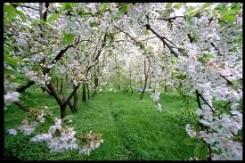 Vignola, un campo con filari di alberi di ciliegio in fiore