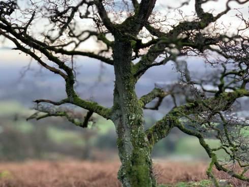 Le chêne.