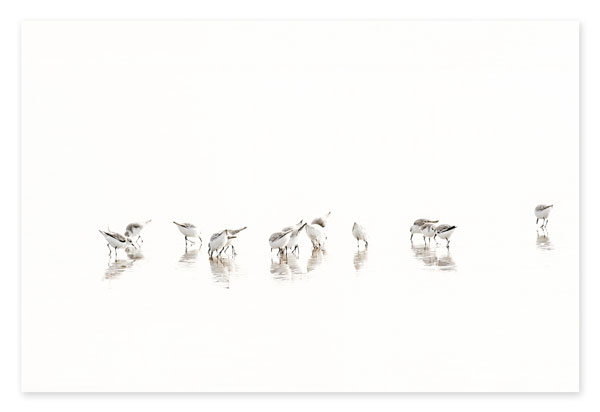 Sandpipers No 3 - Oversized bird art print by Cattie Coyle Photography