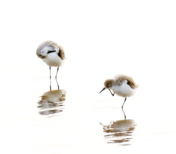 Sandpipers - Fine art bird photography by Cattie Coyle SN2