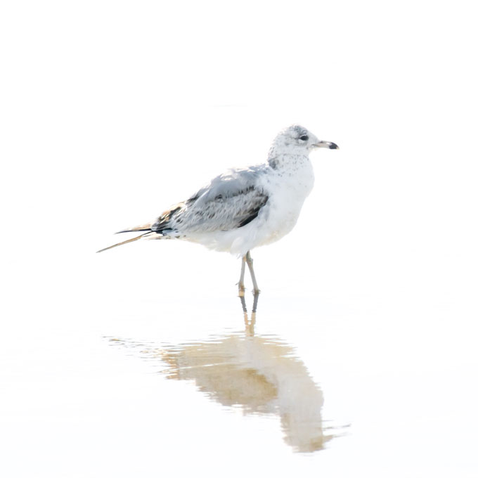 Seagull prints: Seagull No 12 - Bird fine art print by Cattie Coyle Photography