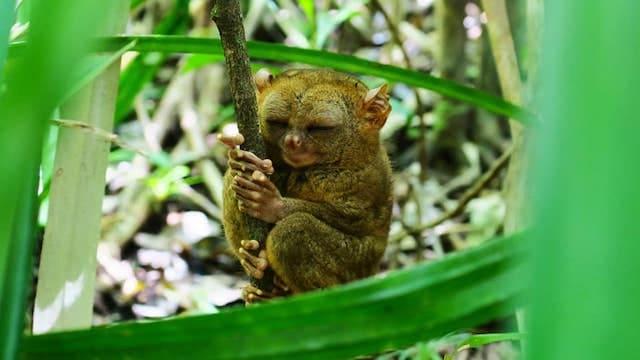 セブ・ボホール島世界最小の猿・ターシャ【人気観光メガネザル】徹底解説!