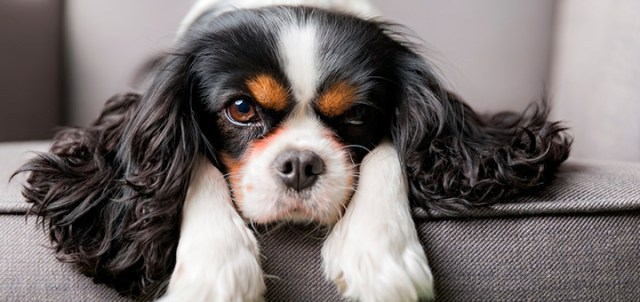 cavalier raza perros departamentos
