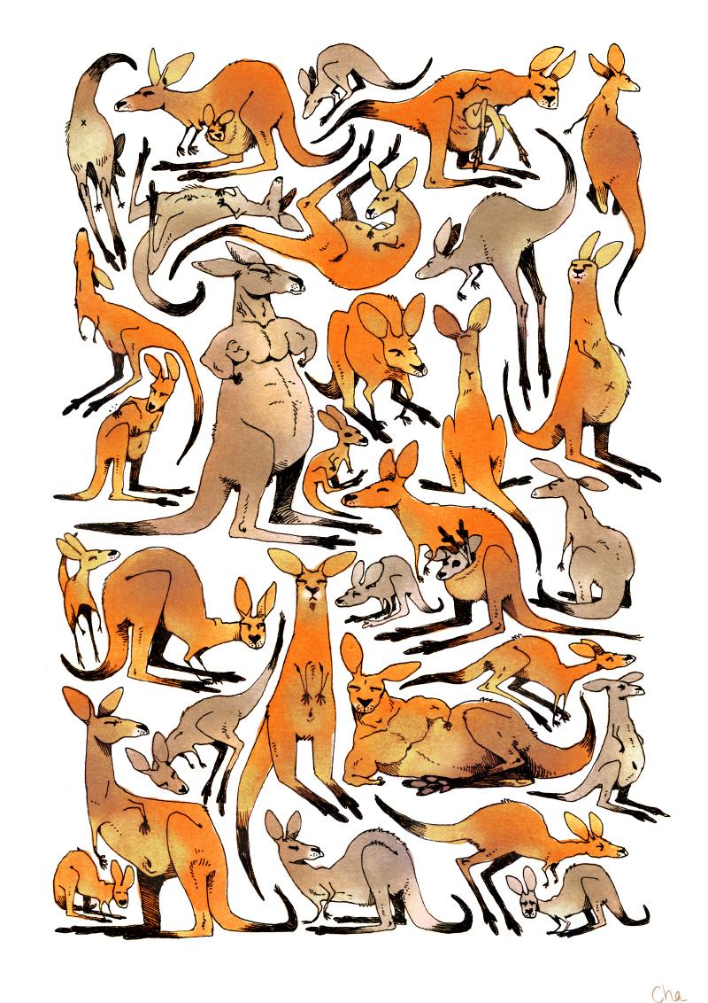 Australie kangourous