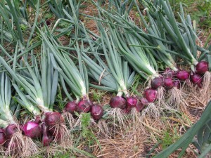 HOW YOUR CHAMA CAN INVEST IN ONION FARMING
