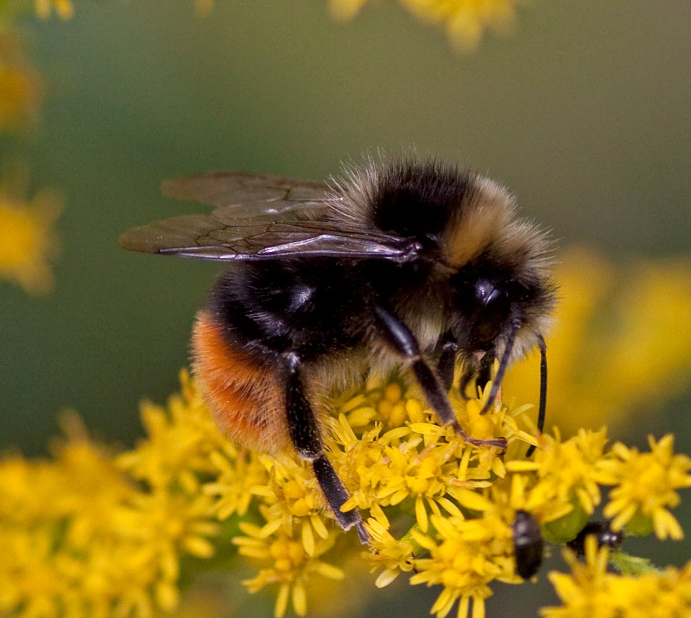 Picture shows a bee on a yellow flower.