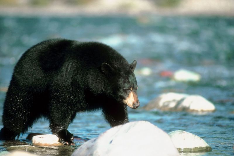 Bear Navigating a River