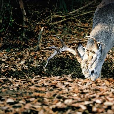 Whitetail deer eating