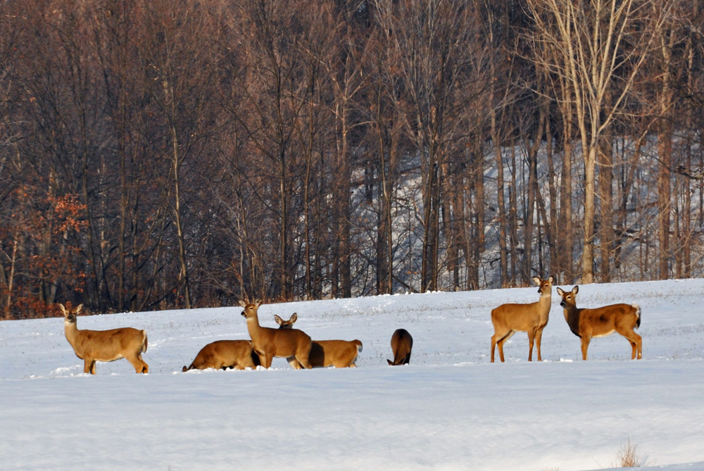Picture shows a herd of deer in the snow.
