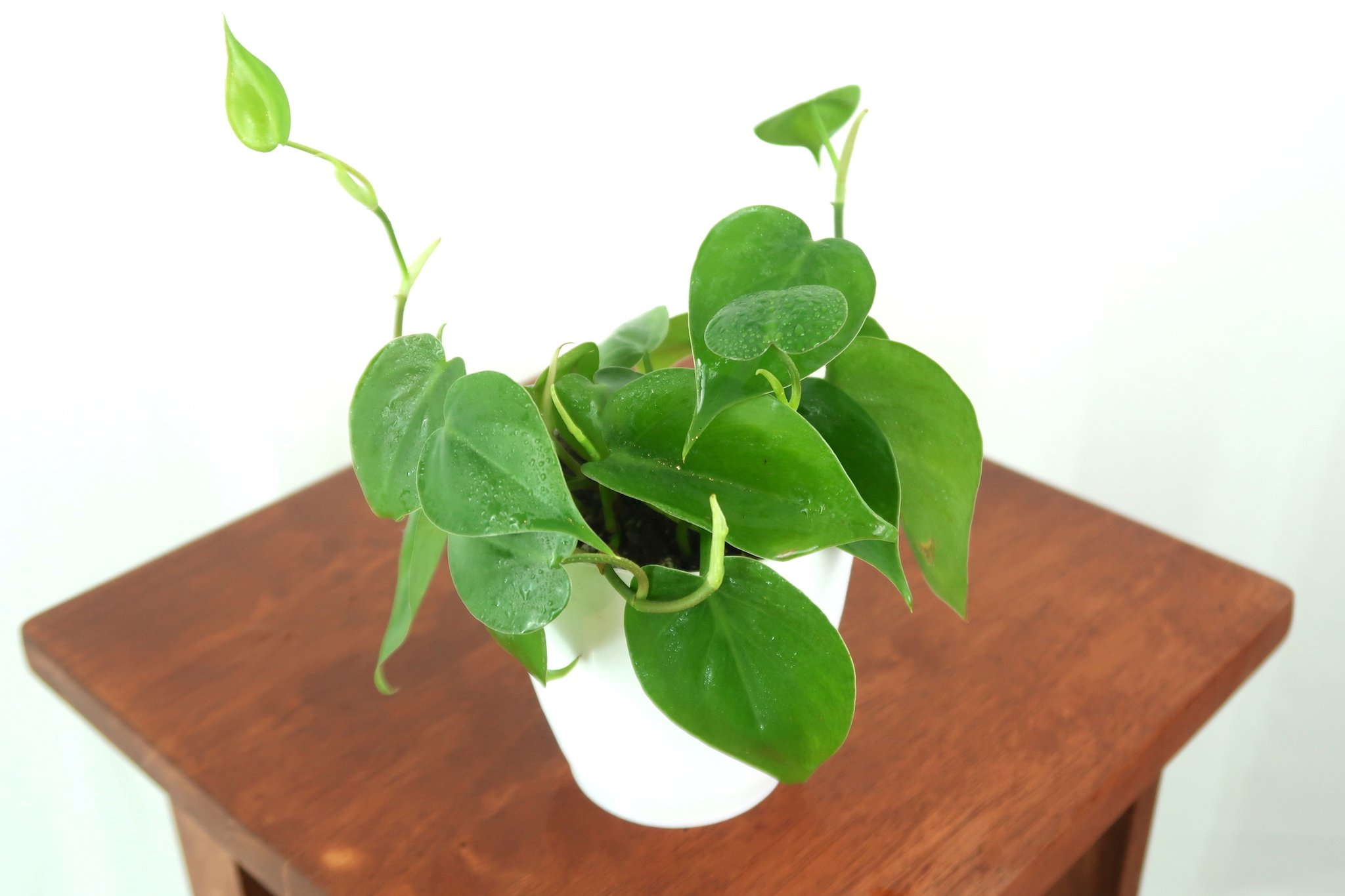 Heartleaf Philodendron to gift your close ones